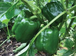 Three deep green, glossy, large capsicums attached to the plant.