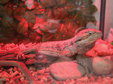 A brown lizard in a tank with red lighting.