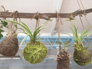 Four balls bound with twine hanging from a branch. Plants grow out of each ball's top.