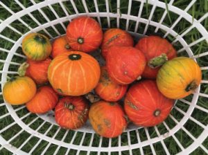A basket containing orange, yellow and red pumpkins in various sizes.