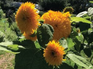 Three large, yellow sunflowers with thick crowns of soft-looking petals