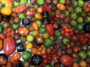 A great variety of tomatoes soaking in water. Tomatoes are red, orange, yellow and black in various shapes and sizes.