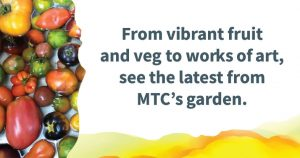 "A variety of tomatoes on the left, with text on the right reading ""From vibrant fruit and veg to works of art, see the latest from MTC's garden."""