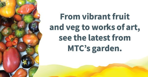 """A variety of tomatoes on the left, with text on the right reading """"From vibrant fruit and veg to works of art, see the latest from MTC's garden."""""""