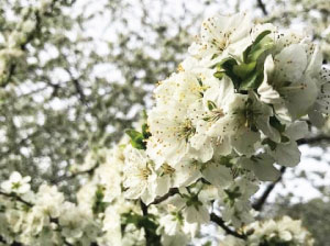 A branch covered in brilliant small white flowers.
